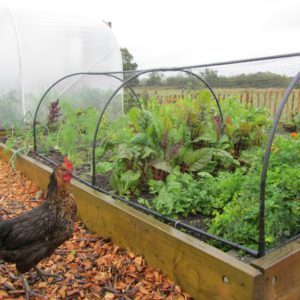 grow cage chicken
